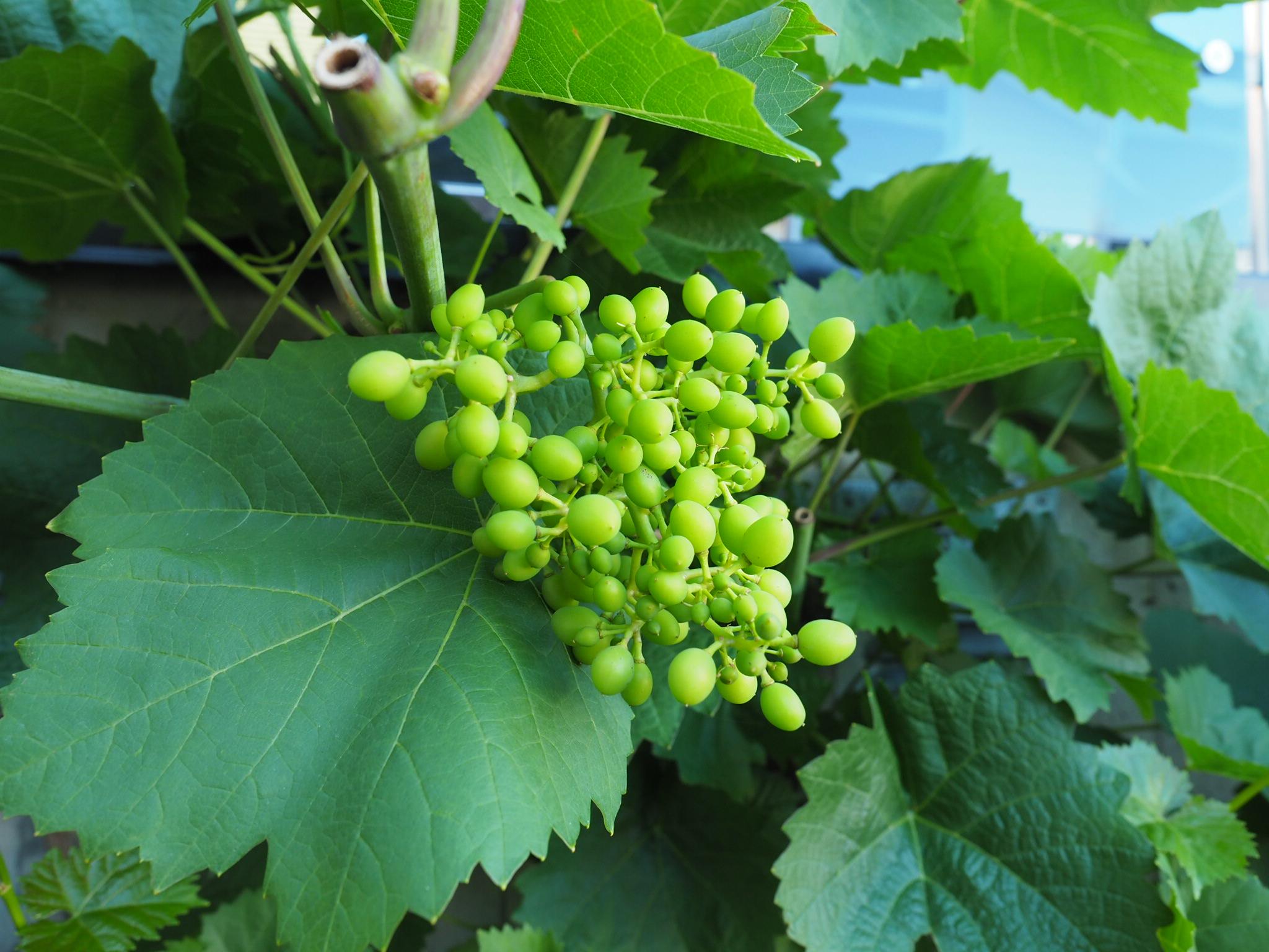 Sommerbeskjæring av drueranke for bedre og søtere druer