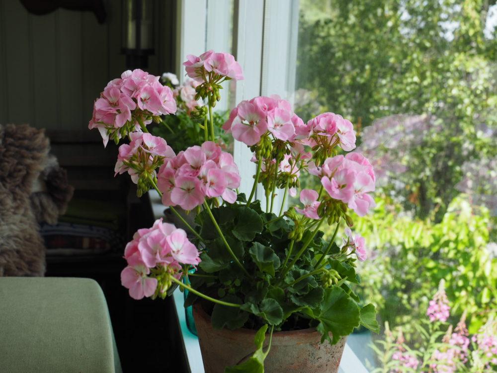 På tide å ta inn pelargonia for sesongen og la dem forberede seg på ny sommer.