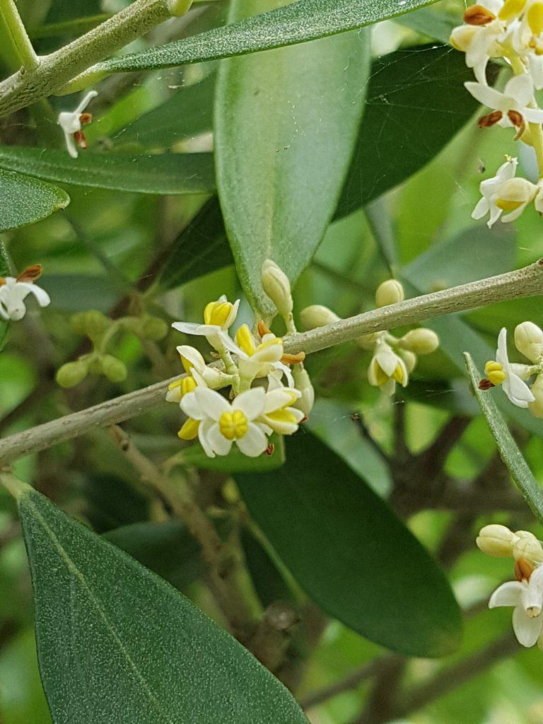 oliven blomstrer