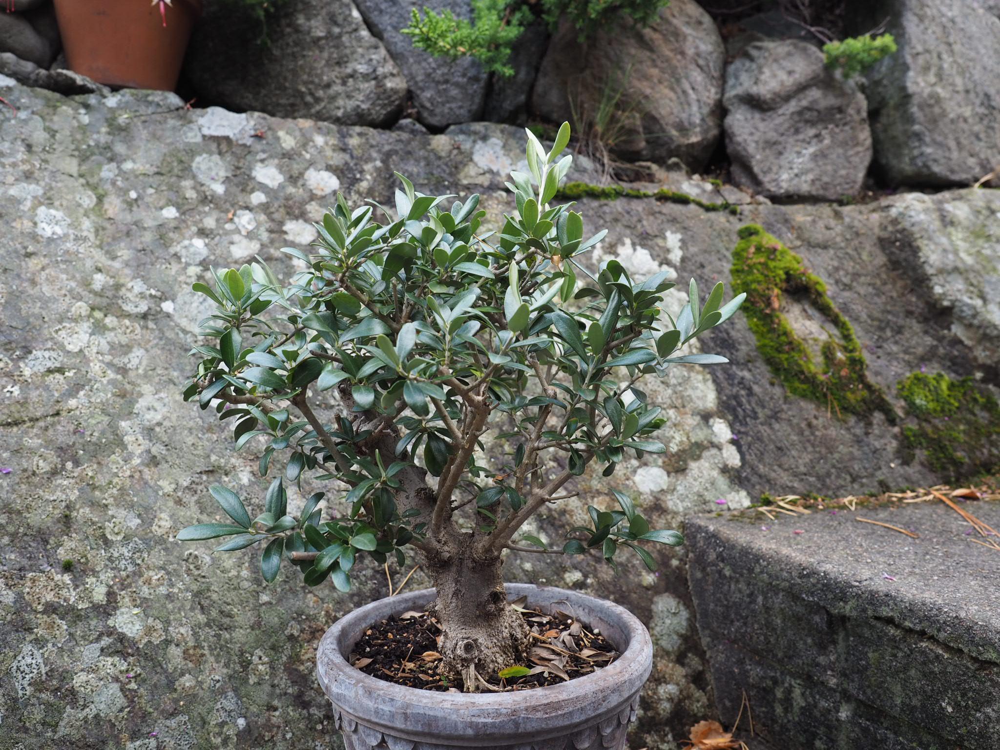 Slik gir jeg det beste vinterstell og overvintring av oliven.