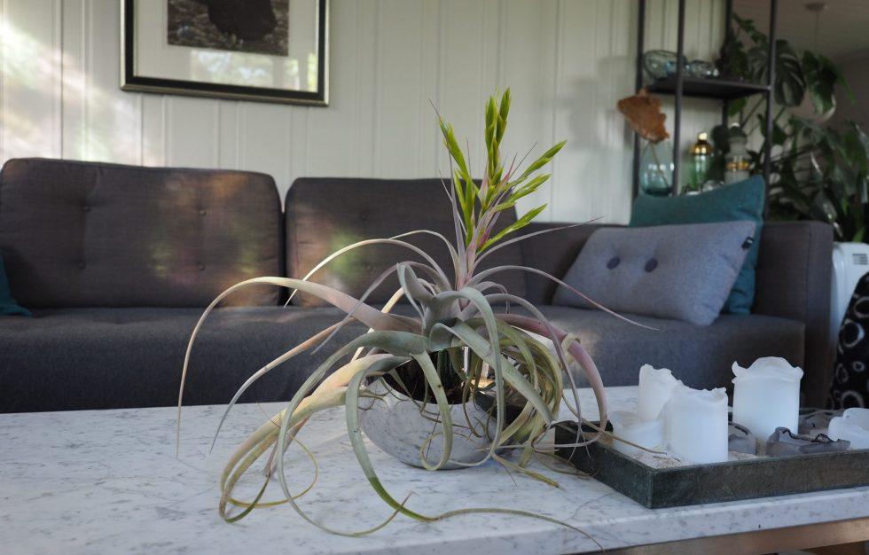 Tillandsia — luftplante som dør etter blomstring.