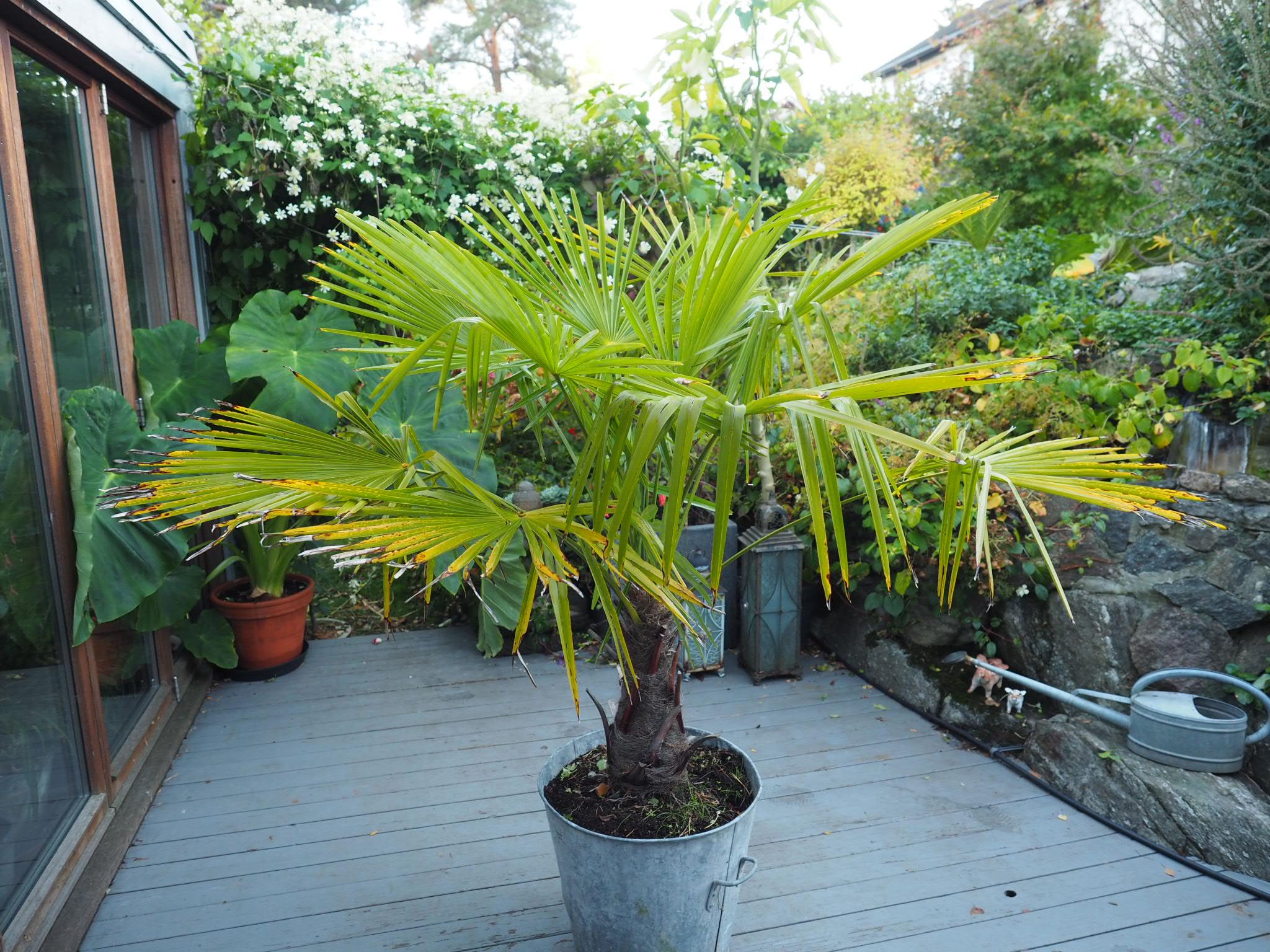 Vindmøllepalme — et eksotisk innslag i høsthagen.