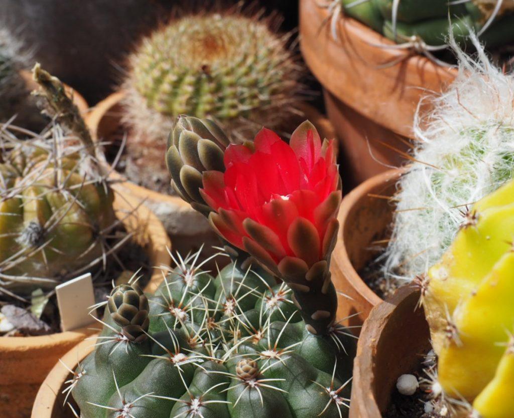 kaktus råte