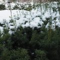 vintergrønt