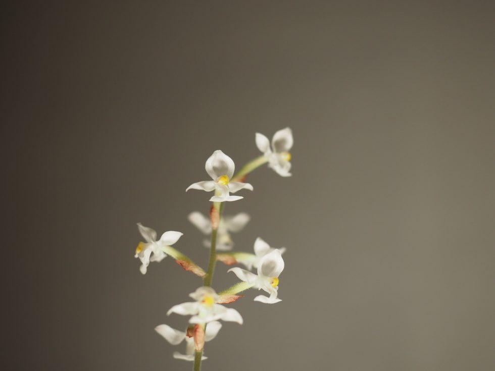 Juvelorkidé — en lettstelt liten perle i plantesamlingen.