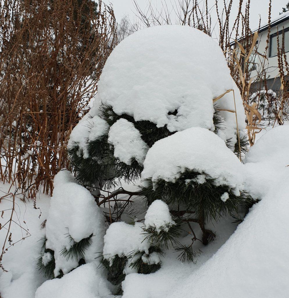 riste av snø