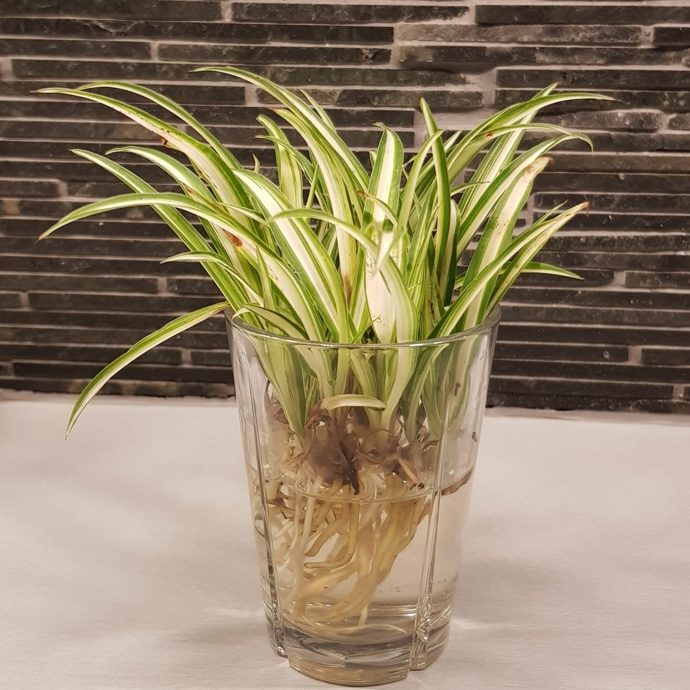 småplanter av chlorophytum comosum