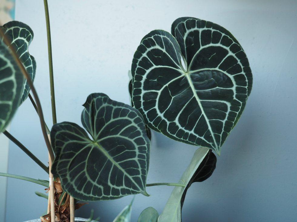Anthurium clarinervium til alle hjerters dag