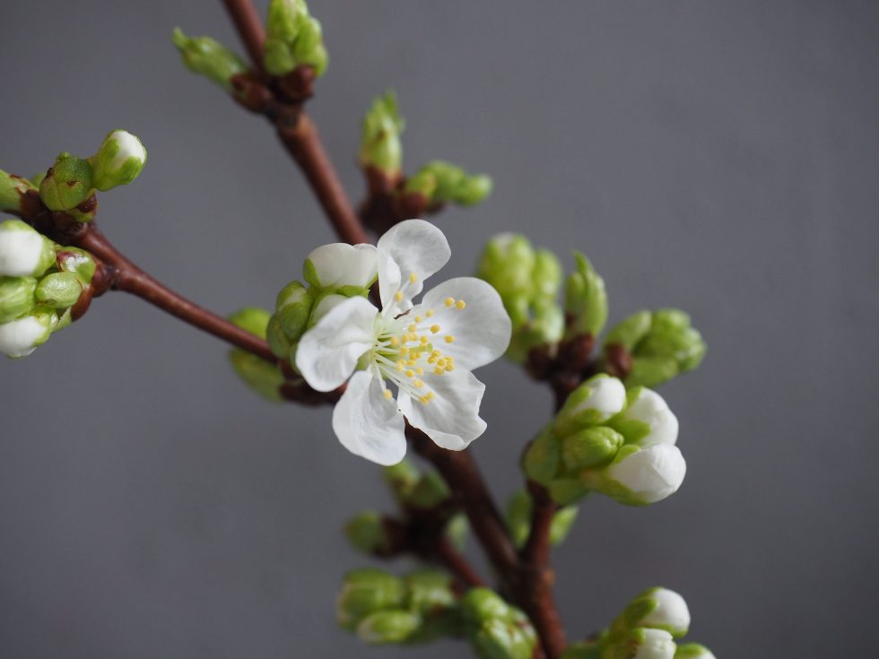 Kortreiste kirsebærblomster i vase = vårfølelse!