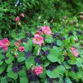 Sommerblomst med flott bladverk