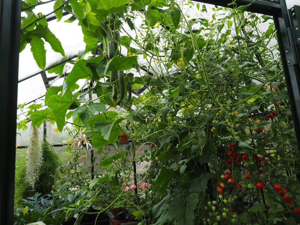 agurkplante
