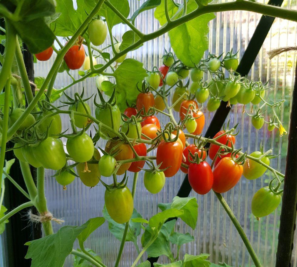 Plante tomater — slik gjør jeg for å få sterkere planter.