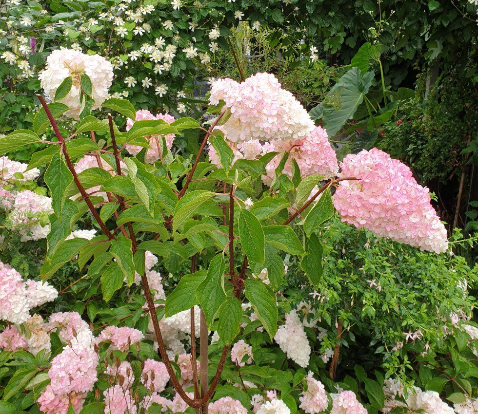 knekte grener på syrinhortensia